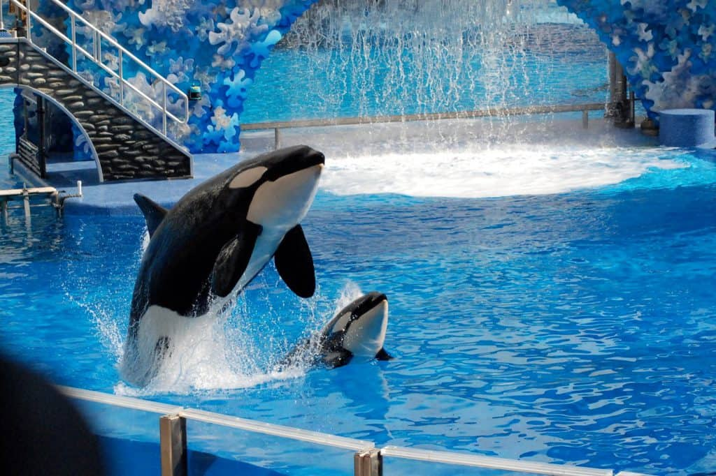 Orlando-Seaworld-Killer-Whales