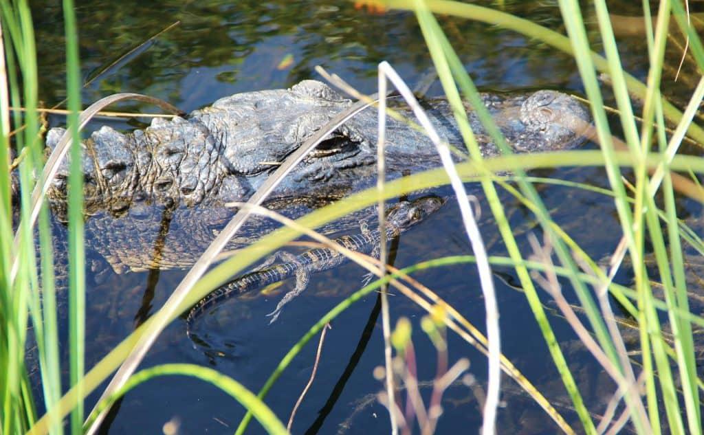 alligator swimming in the Florida Everglades