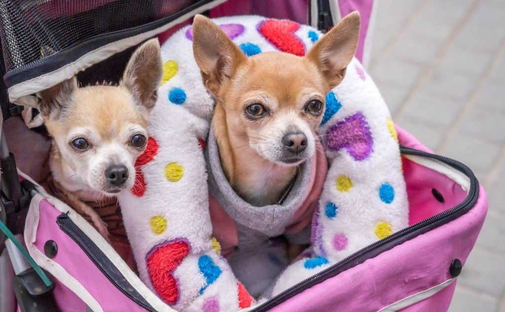 two small dogs wrapped in a blanket and in a pink stroller