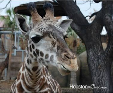 Giraffe at Houston Zoo