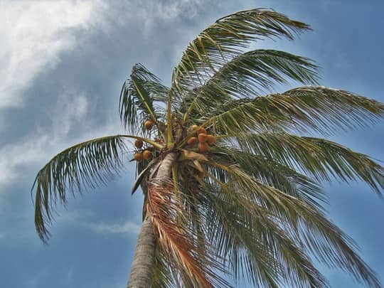 palm tree swaying as a hurricane approaches