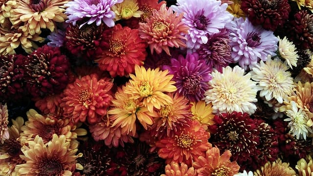 assorted color mums