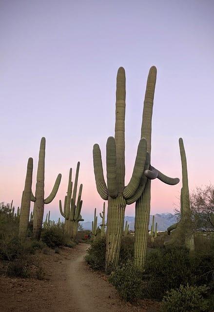 what to do in tucson - saguaro cactus